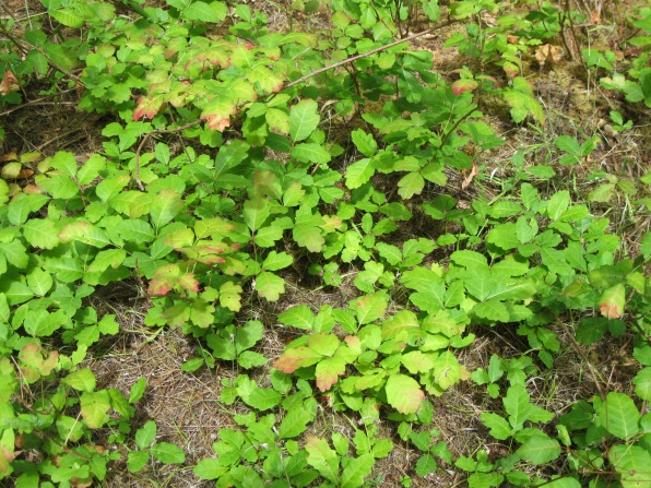 10_Mont2_poison oak