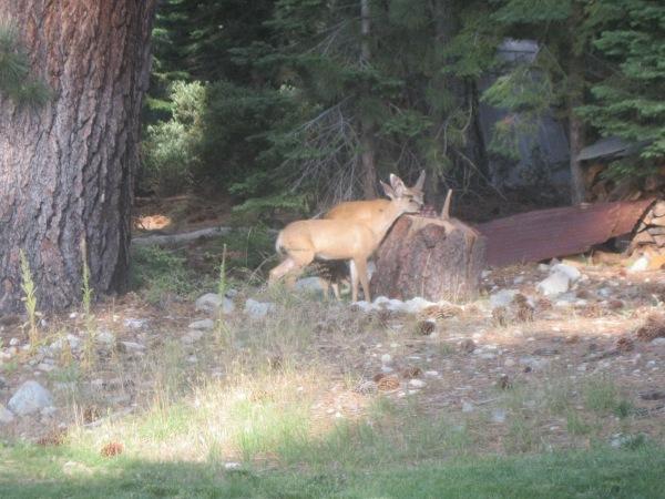 29_deer at salt lick