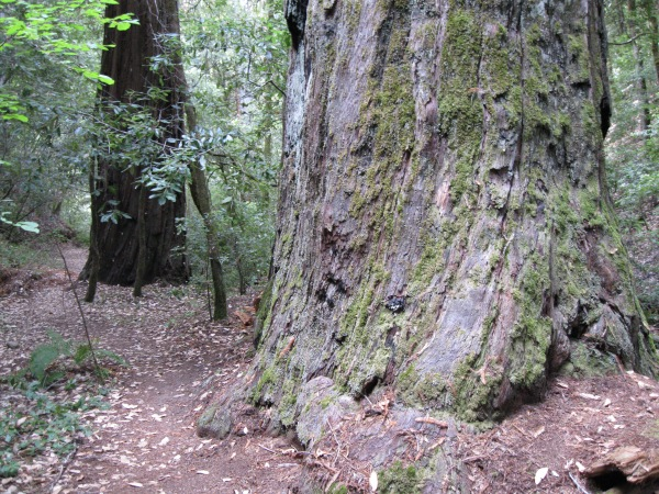 2_Mont1_big_redwoods