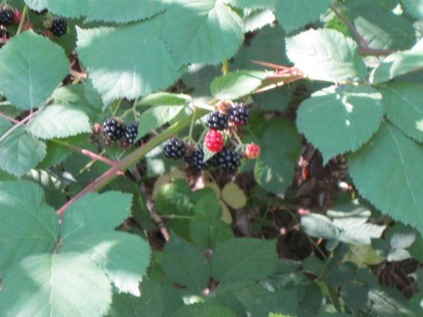 9_blackberries are in season