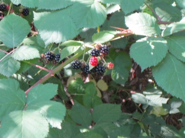 9_blackberries are in season