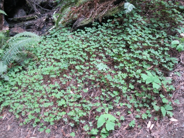 9_Mont2_ other undergrowth_clover