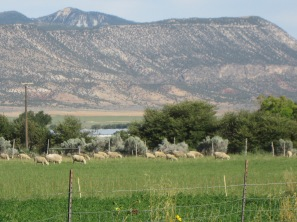 12e_irrigated sheep pasture