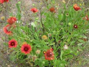 22_Blanket flower1