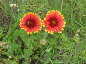 22b_blanket flower2