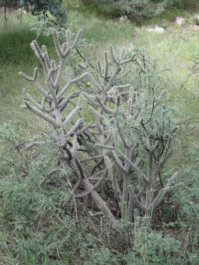 25_this cholla
