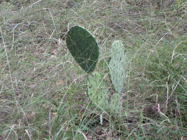 26_prickly pear