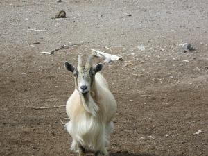 29c_menagerie3_goat