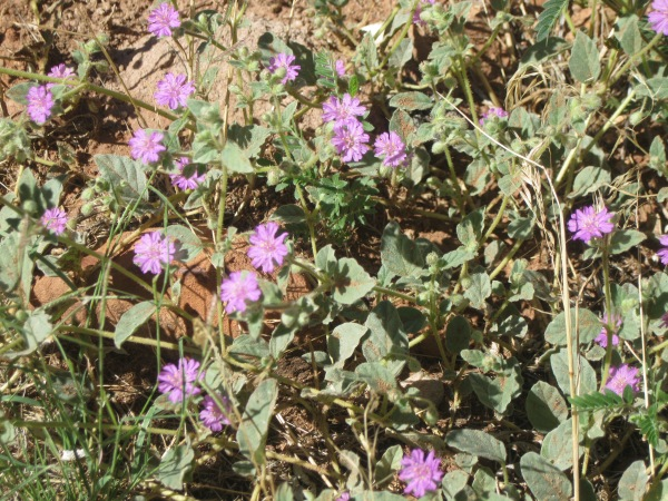 29c_more asters