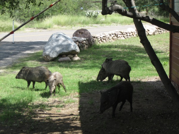 49_back in Portal...javalinas