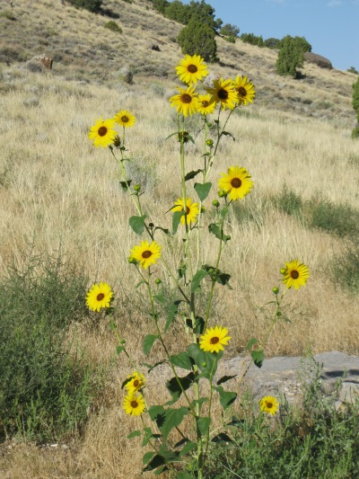 4_cross into Utah, yellow flower and desert grass