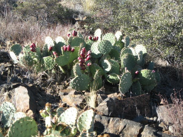 10_Prickly pear, again