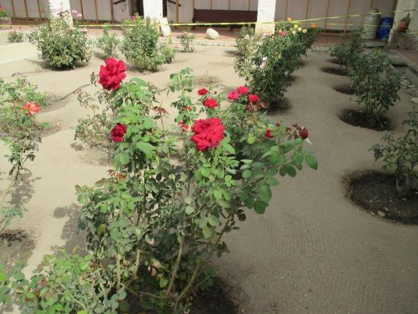16b_garden - roses