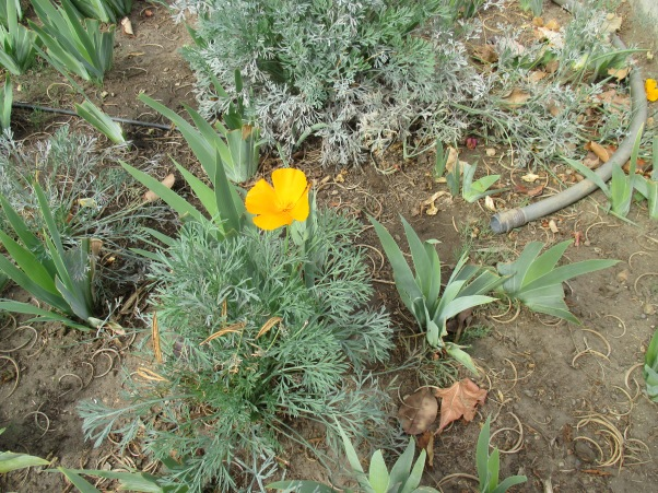 17_garden - golden poppy