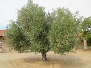 21_plants - olive tree