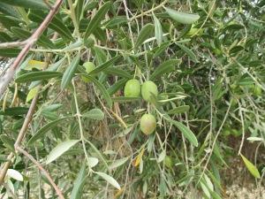 22_plants - olives