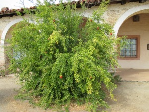 23a_plants -pomegranite tree