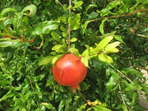 23b_plants - pomegranate