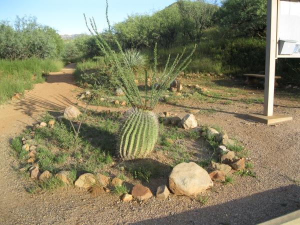 26_Plants_barrel cactus 1