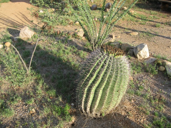 27_Plants_barrel cactus 2
