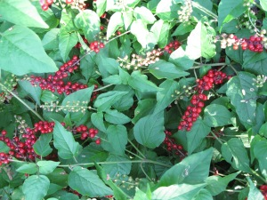 33_Plants_redberries 2
