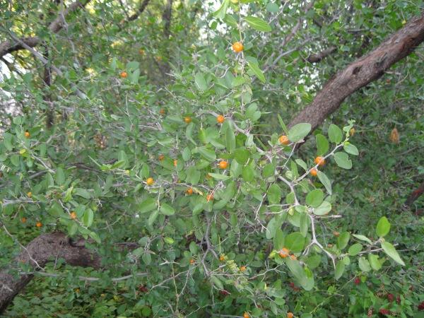 34_Plants_orange berries