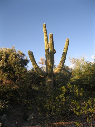 Cacti 4_perfect organ pipe