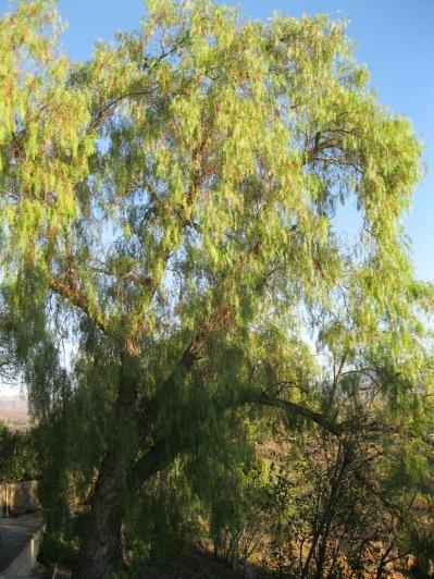 e5_like this pepper tree