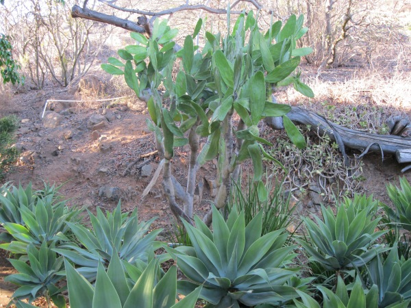 e8_agave and prickly pear, but...